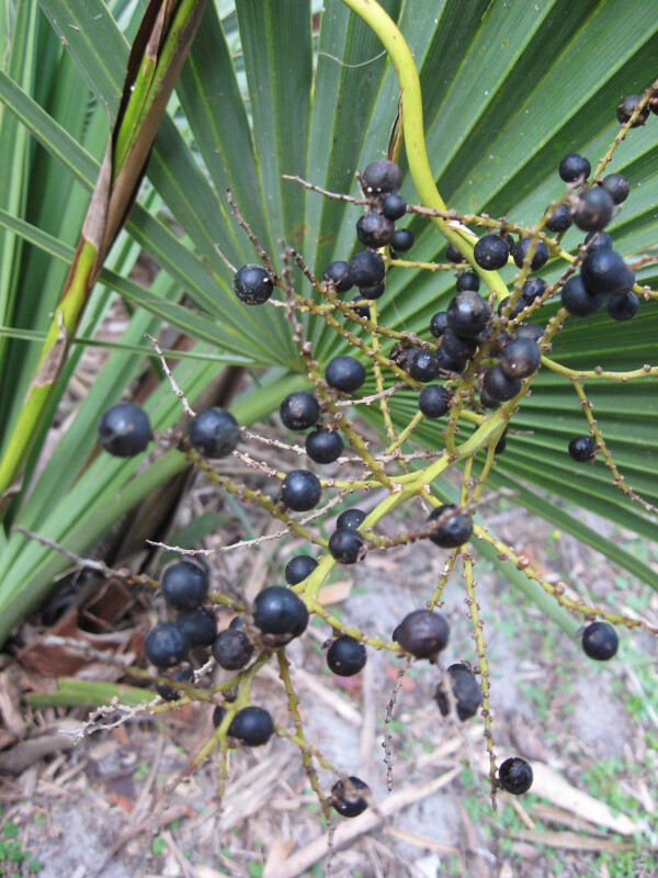 Dwarf Palmetto Berries