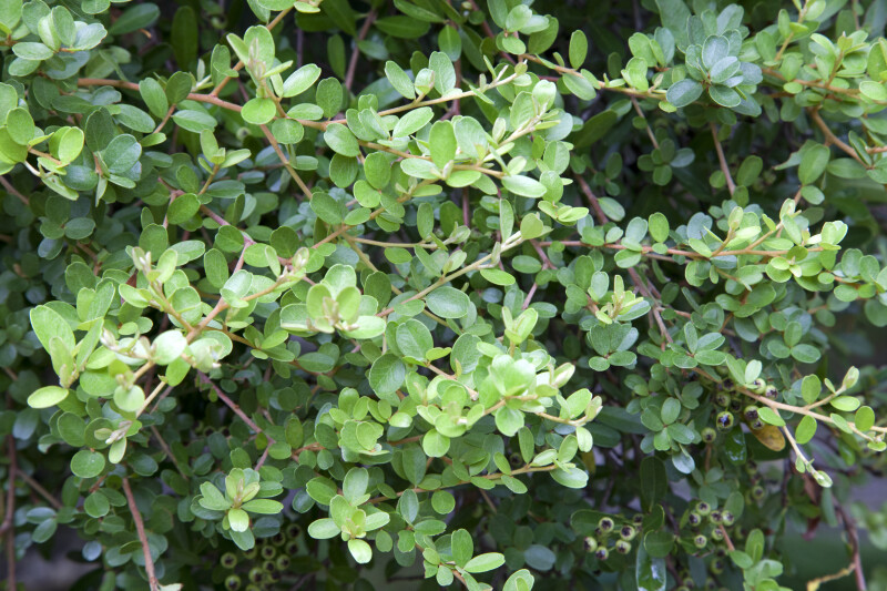 Dwarf Pyracantha Leaves, Branches, and Berries