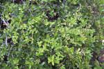 Dwarf Pyracantha Plant at the Kanapaha Botanical Gardens