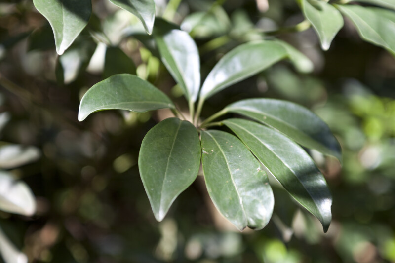 Dwarf Schefflera Leaves