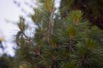 Dwarf White Pine Detail