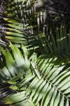 Dypsis rivularis Palm Fronds