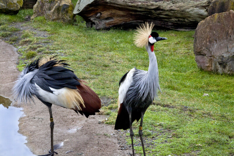 East African Crowned Cranes at Zoo