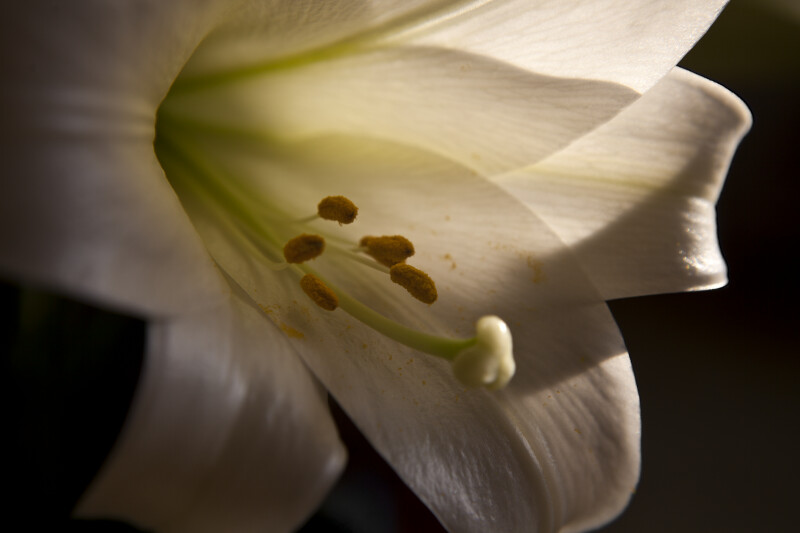 Easter Lily Close-Up