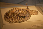 Eastern Diamondback Rattlesnake on Display at the Flamingo Visitor Center of Everglades National Park