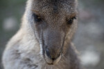 Eastern Grey Kangaroo Portrait