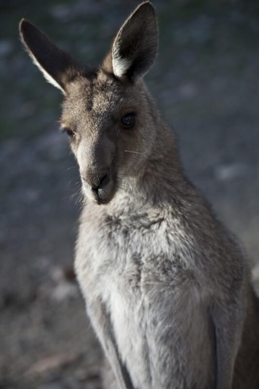 Eastern Grey Kangaroo Standing
