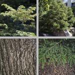 Eastern Hemlock Trees photographs