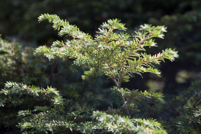 'Gentsch White' Eastern Hemlock Tree Branches