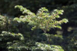 'Gentsch White' Eastern Hemlock Tree Branches