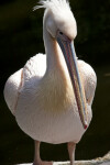 Eastern White Pelican Standing