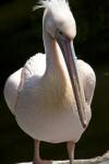 Eastern White Pelican Standing
