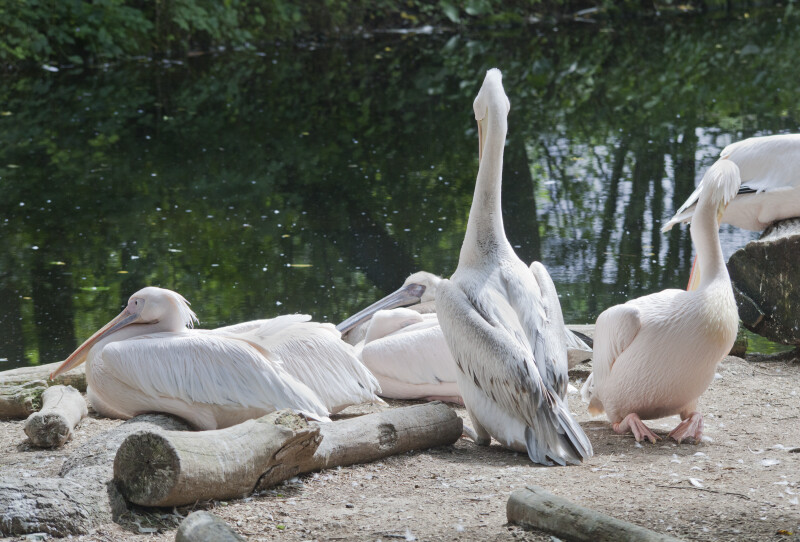 Eastern White Pelicans