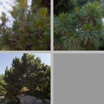 Eastern White Pines photographs