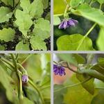 Eggplants photographs