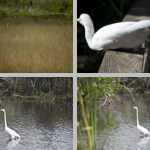 Egrets photographs