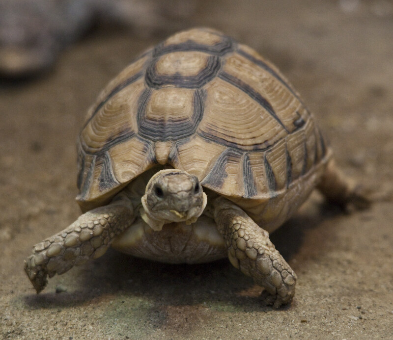 Egyptian Tortoise Walking