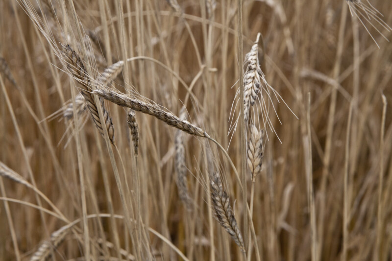 Einkorn Wheat