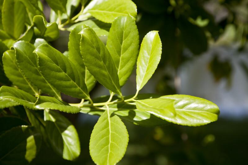 Elaeodendron Quadrangulatum Leaves