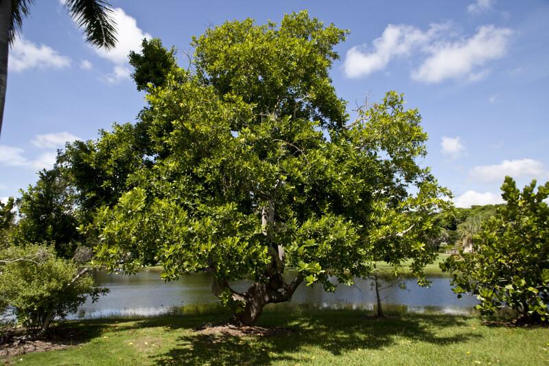 Elaeodendron Quadrangulatum Tree