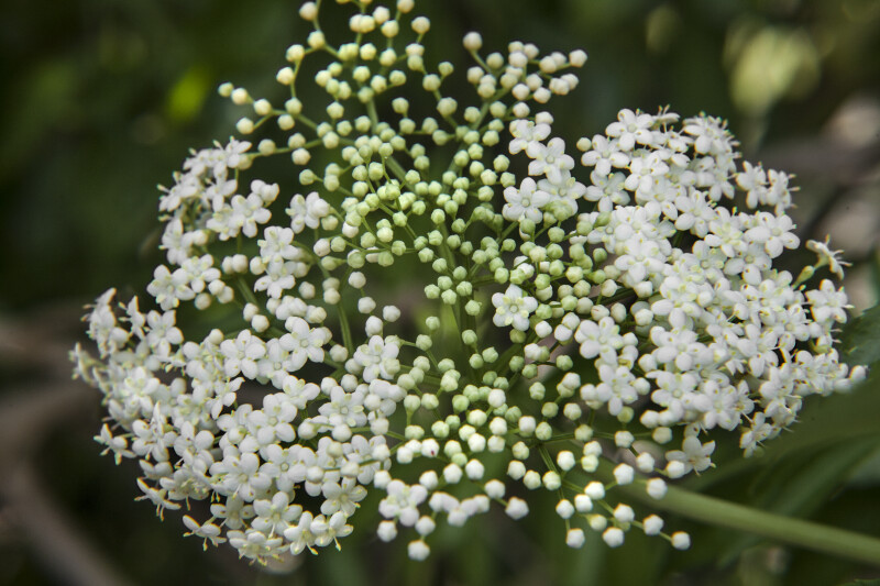 Elderberry Flowers and Flower Buds