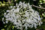 Elderberry Flowers Growing in a Bush