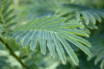 Elephant Ear Tree Leaves