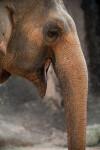 Elephant Yawning