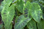 Elephant's Ear Leaves of Different Shades