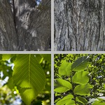 Elm Trees photographs