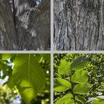 Elm Trees photographs