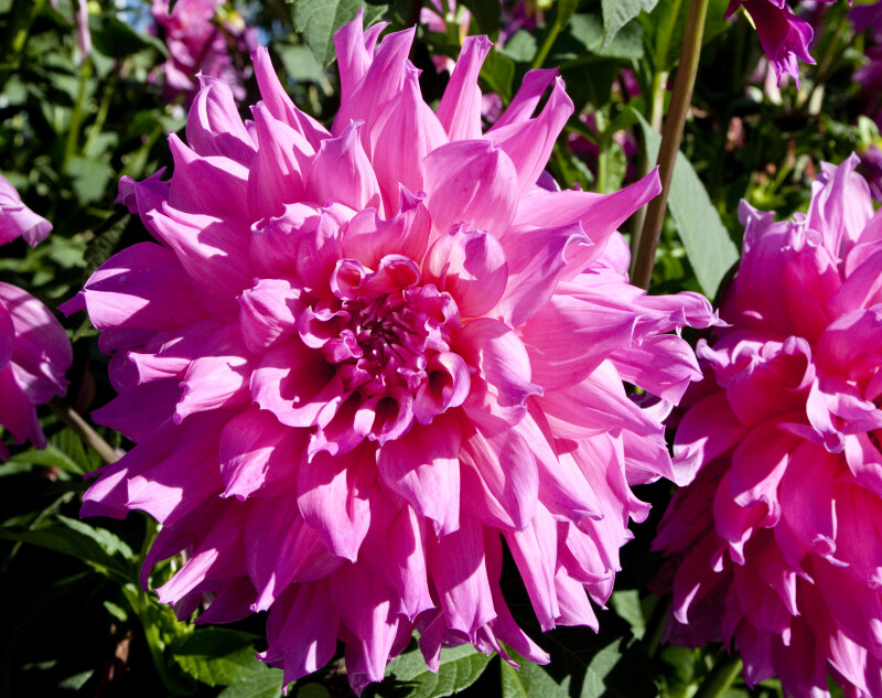 """Elsie Huston"" Dahlia"