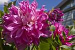 """""""Elsie Huston"""" Flowers"""
