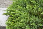 """Emerald Sea"" Juniper Branch"