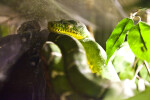 Emerald Tree Boa Close-Up