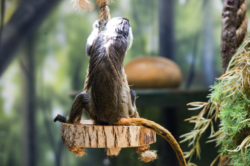 Emperor Tamarin on Swing