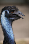 Emu Side View