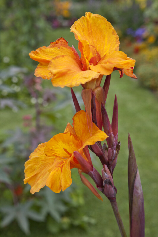 """En Avant"" Canna Lily Flowers"