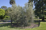 Enclosed European Olive Tree at Capitol Park in Sacramento