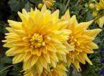 """""""Engelhardt's Jubilaum"""" Semi-Cactus Dahlia"""