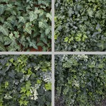 English Ivy photographs