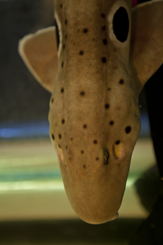 Epaulette Shark Detail