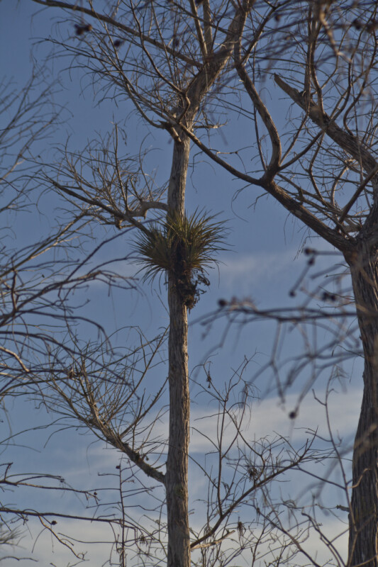 Epiphyte in a Cypress Tree