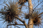 Epiphytic Plant Growing in Tree