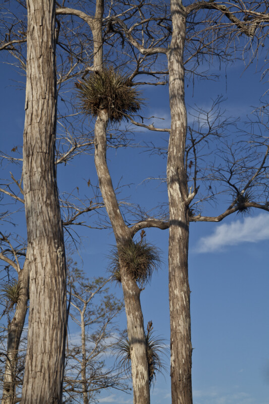 Epiphytic Plants in Cypress Trees