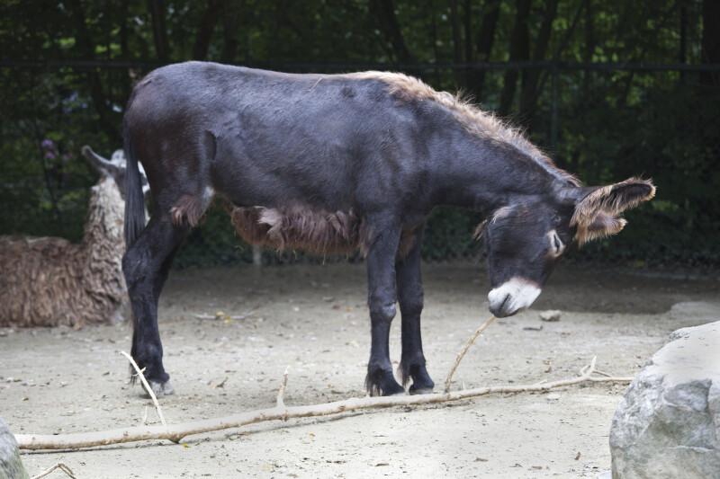 Equus asinus asinus
