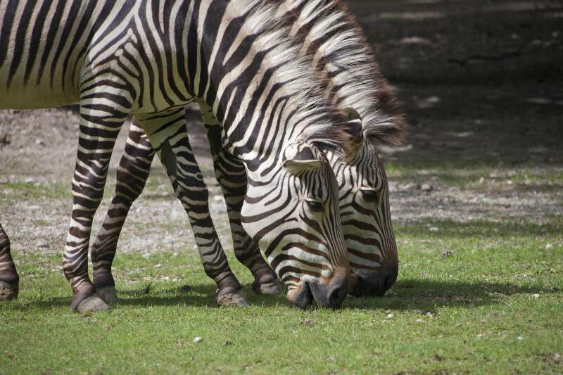 Equus zebra hartmannae Foraging