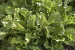 Escarole Leaves