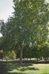 Eucalyptus Tree at Capitol Park in Sacramento