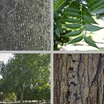 Eucalyptus Trees photographs